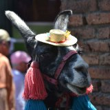 Llama with a hat... or is it alpaca