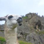Finally! A real Llama! Or is it alpaca?