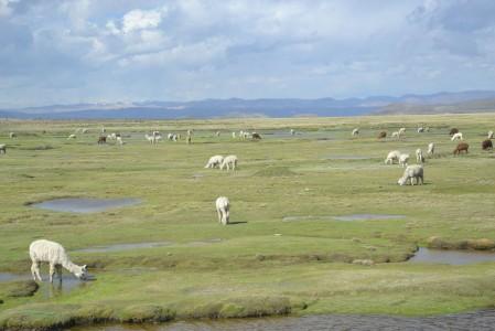 Llamas and alpacas grazing on the plains