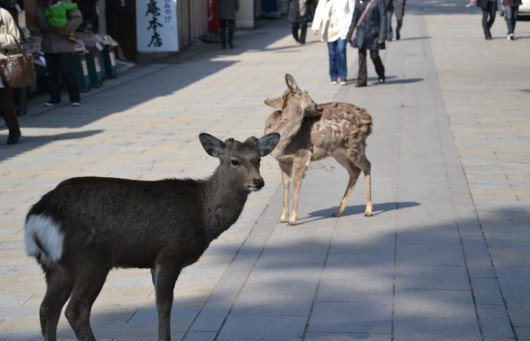 "Deers are the ""pigeons"" of Nara"