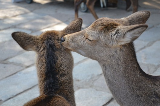 Deers in Nara grooming eachother