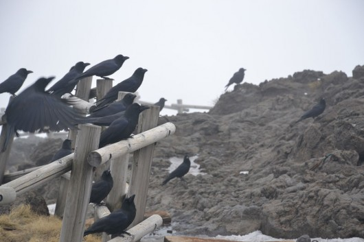 Army of hungry crows waiting for you at the top of Mt. Halla