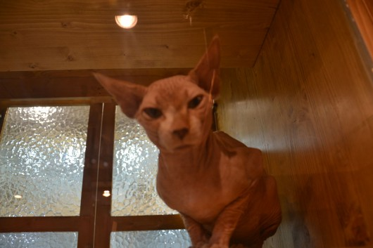 The bald cat in the sauna-like box