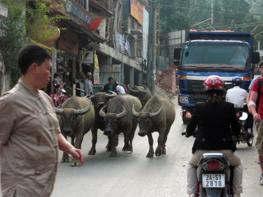 Buffalos are everywhere, even in the center of Sapa