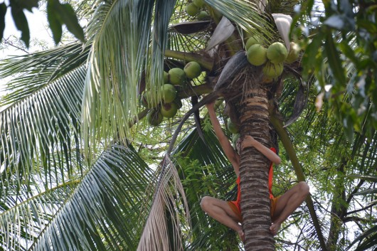 Monk-ey getting some coconuts.... (sorry for bad pun...)