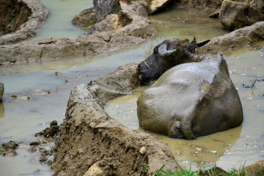 Waterbuffalos putting the final touches on the rice paddy