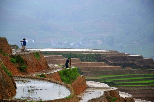 Young and old have to help out on the rice fields