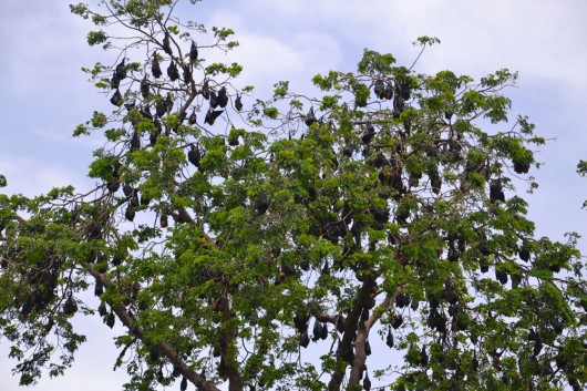 A WHOLE LOT OF FRUITBATS! Just hanging, chillin'