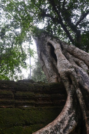 Huge trees outgrowing the temples in Angkor Wat