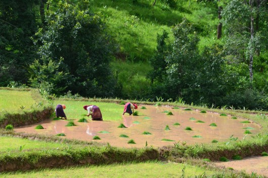 Farmers planting the rice