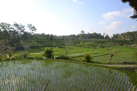 Rice fields around the villages in Ubud