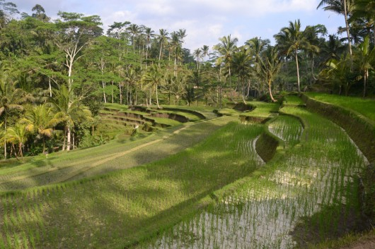 Rice paddies on the way to Tampaksiring