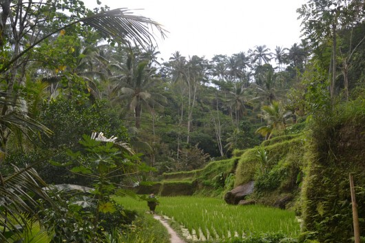 Rice fields in a thick forest