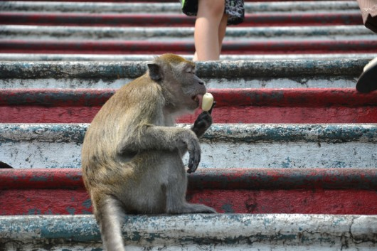 Local monkey cooling down with a popsicle