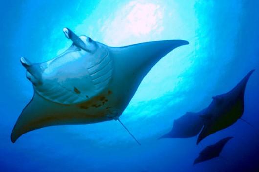 Manta Ray swimming above us