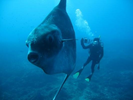 Enormous sun fish or mola-mola
