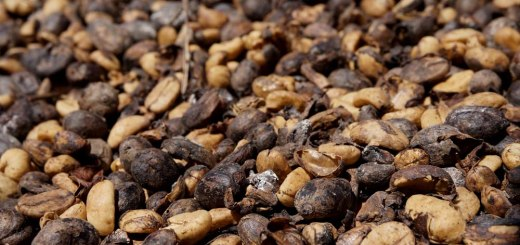 Roasted Arabica coffee beans from the Bolaven Plateau