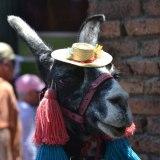 Llama with a hat... or is it alpaca